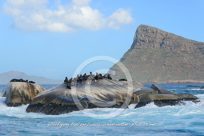 Arctocephalus pusillus, Suedafrikanicher Seebaer, Seebaeren auf Felsstein, South African fur seal, Seals on cliff, South African fur seal, False Bay, Simons Town, Suedafrika, Indischer Ocean, False bay, Simons Town, South Africa, Indian Ocean