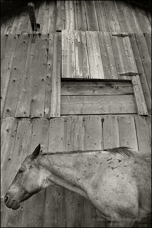 "Writer Pam Houston's horse, Roany, blends in with the weathered grey barn at her ranch in Creede, Co. on Friday Sept. 14, 2007.   She's written four books, including ""Cowboys are my Weekness,"" and teaches creative writing.  (ELLEN JASKOL/ROCKY MOUNTAIN NEWS)"