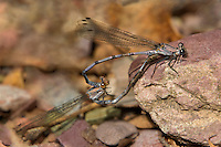 338670007 wild male and female tonto dancer damselflies argia tonto perch in copula on a leaf near a creek in garden canyon fort huachuca cochise county arizona united states