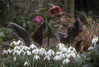Helleborus hybridus hellebore - red seedling + Bergenia + Galanthus nivalis snowdrops, winter bulbs and flowers