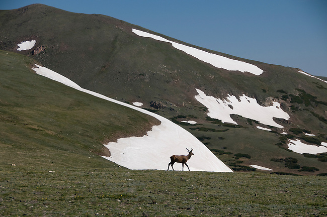 American elk, wapiti, Cervus elaphus, bull, alpine, morning, wildlife, mammal, nature, summer, July, Trail Ridge, high elevation, Rocky Mountain National Park, Colorado, USA