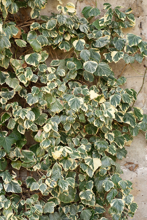 hedera helix marginata as a climbing vine