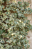 Hedera helix 'Marginata' ivy climbing a dry shaded wall