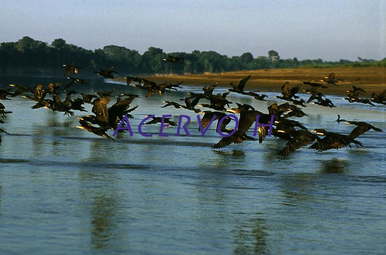 revoada de biguás (Phalacrocorax olivaceus) nas margens do rio Mamoré - Rondônia