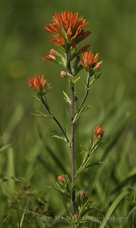 Indian Paintbrush wildflowers in a Missouri prairie