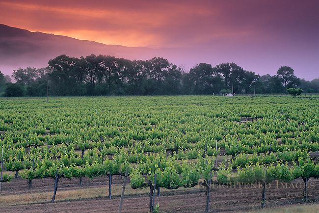 Morning fog along hills at sunrise over vineyard near Hopland, Mendocino County, California