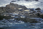 Seals basking in the sun in the Pacific Ocean, Mendocino California