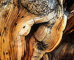Close-up of Great Basin Bristlecone Pine (Pinus longaeva) tree. Grow between 9,800 and 11,000 feet (3000-3400 m) above sea level in xeric alpine conditions in southwest US; Utah, Nevada and California. Grows to 16-49 ft (5 to 15 m) tall w/ trunk diameter of 8 ft 2 in to 11 ft 10 in (2.5 to 3.6 m). Species on International Union for Conservation of Nature (IUCN) red list. Protected within the Inyo National Forest. Among White Mountain specimens, oldest trees found on north-facing slopes, with an average of 2,000 years, as compared to the 1,000 year average on the southern slopes. The climate and the durability of their wood can preserve them long after death, with dead trees as old as 7,000 years persisting next to live ones. Leaves show the longest persistence of any plant, with some remaining green for 45 years. Ancient Bristlecone Pine Forest, Inyo County, Inyo National Forest, White Mountains, CA.
