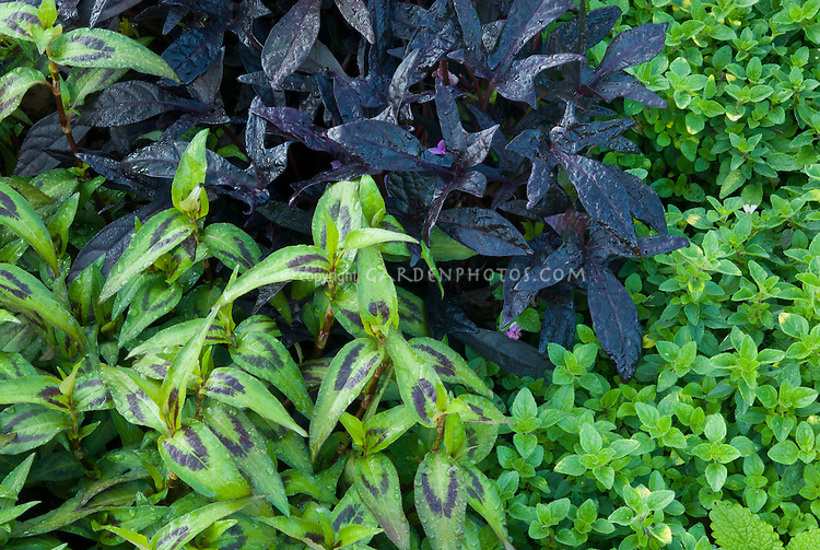 Persicaria odorata aka Vietnamese coriander aka rau răm, while in Malaysia and Singapore it is called daun kesom or daun laksa (laksa leaf). In Thailand, it is called phak phai ผักไผ่, with thyme Thymus herb, Ipomoea Blackie
