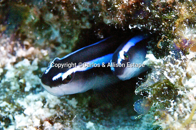 Elacatinus oceanops, Neon goby, Florida Keys