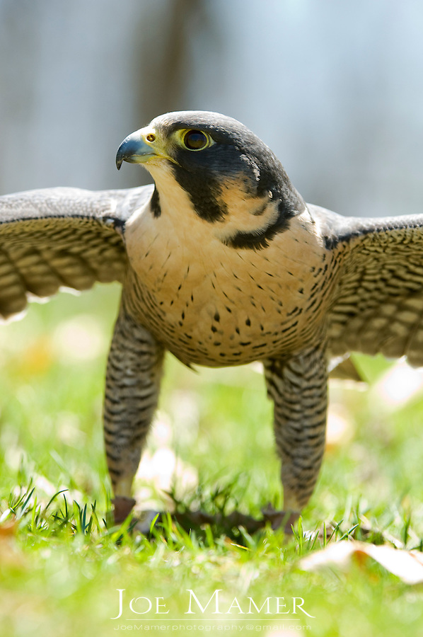 Peregrine falcon (Falco peregrinus) on ground with wings spread. Captive bird from the Minnesota Raptor Center