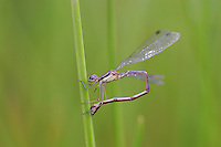 Southern Spreadwing Damselfly; Lestes disjunctus australis; ovipositing in spikerush; in seasonal pond; NJ, Cape May Co.