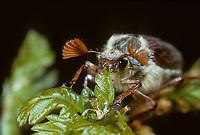 Maikäfer, frisst an Eiche, Gemeiner Maikäfer, Feld-Maikäfer, Feldmaikäfer, Mai-Käfer, Melolontha melolontha, frisst an Eiche, maybeetle, may-beetle, common cockchafer, maybug