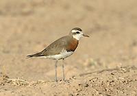 Caspian Plover - Charadrius asiaticus - male.