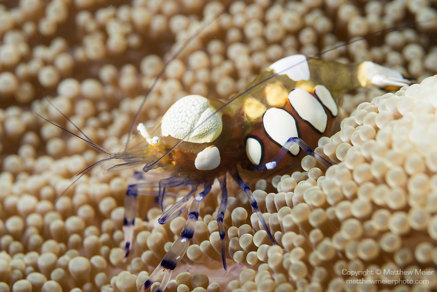Dumaguete, Dauin, Negros Oriental, Philippines; an orange and white spotted anemone shrimp on it's host anemone