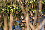Damon, Texas; looking through reeds in sunlight at a pair of female ring-necked ducks reflecting in the water's surface while swimming across the surface of the slough