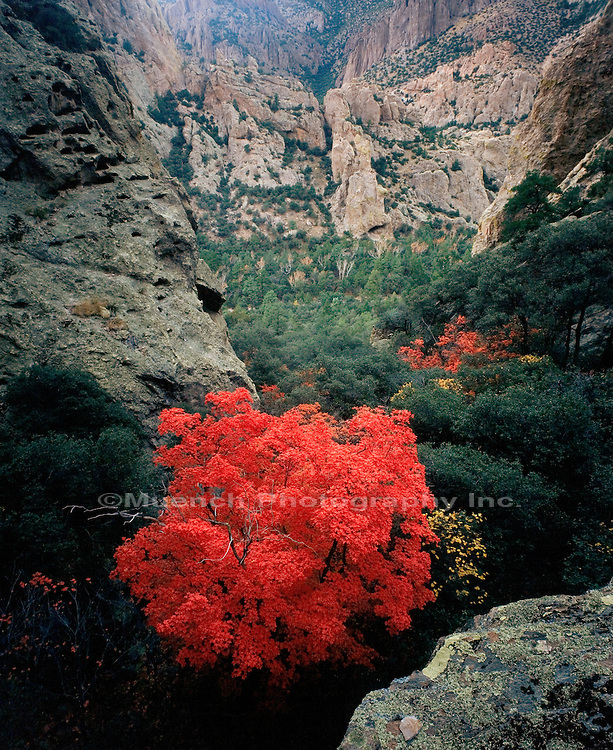 Maple tree, Chiricahua Mountains, Chiricahua Wilderness