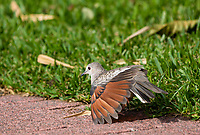 Inca Dove, Columbina inca, stretches its wings in the gardens of the Hotel Bougainvillea, Santo Domingo de Heredia, Costa Rica