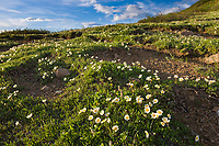 Mountain aven wildflowers in spring bloom on the tundra, Denali National park, Interior, Alaska.
