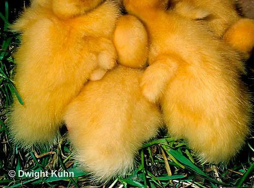 DG20-113z  Pekin Duck - four day old ducklings huddling