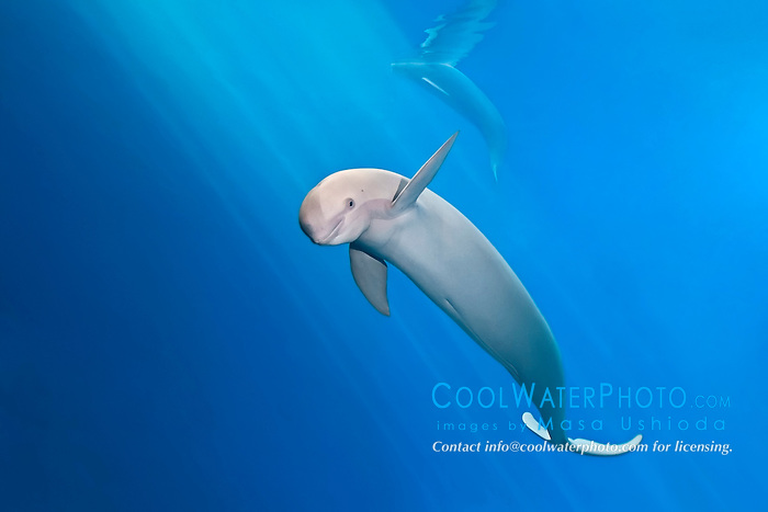finless porpoise or sunameri, Neophocaena phocaenoides, found in coastal waters of Asia from Japan, China, Indonesia, India to Persian Gulf, captive