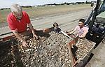 Foto: VidiPhoto<br /> <br /> NOORDWIJKERHOUT &ndash; Medewerkers van bollenkweker JUB Holland uit Noordwijkerhout, rooien dinsdag het laatste tulpenperceel. Nog nooit eerder zijn in Nederland zoveel tulpenbollen uit de grond gehaald als dit jaar, zo maakt branchevereniging KAVB dinsdag bekend. Sinds 2000 is de teeltoppervlakte van tulpen met 36 procent gegroeid tot bijna 12.000 hectare nu. Er zijn 880 tulpenkwekers in Nederland. Na de oogst worden de bollen op het bedrijf met de hand gepeld en klaargemaakt voor verkoop. Rudolph Uittenbogaard: &ldquo;Door de extreme hitteperiodes in mei en juni zijn de bollen minder hard gegroeid, waardoor we iets minder kilo&rsquo;s rooien maar verder zijn de bollen perfect. We zijn in de laatste 25 jaar nog nooit zo vroeg klaar geweest met de oogst.&rdquo; JUB Holland is dit jaar uitgeroepen tot de beste tuinbouwondernemer van Nederland. Het familiebedrijf exporteert bloembollen naar 40 landen, kweekt zo&rsquo;n 4 miljoen snijtulpen en ontwikkelt nieuwe soorten.