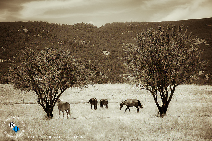 Horses graze on a northern California ranch in a very pastoral setting