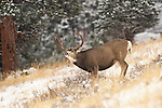 12-1283. A mule deer buck displays a lip curl as snow falls during the rutting season in the Rocky Mountains.