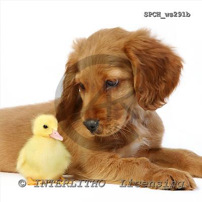 Xavier, ANIMALS, fondless, photos, SPCHWS291B,#A# Tiere ohne Fond, animales sind fondo