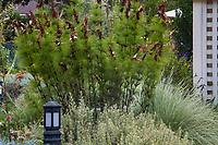 Elegia capensis, Horsetail restio or Broom-Reed, South African perennial in garden foliage border; Gamble Garden, Palo Alto, California