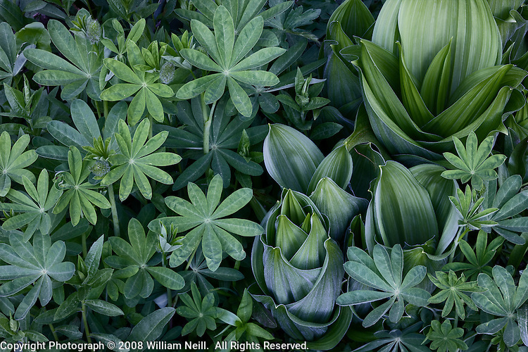 Corn Lilies and Lupine Leaves, Summit Meadow, Yosemite National Park  2008