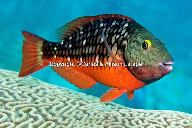 Sparisoma viride, Stoplight parrotfish, intermediate, Florida Keys