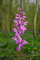 EARLY PURPLE ORCHID Orchis mascula (Orchidaceae) Height to 40cm. Attractive perennial that grows in woodland, scrub and grassland, doing especially well on neutral or calcareous grassland. FLOWERS are pinkish purple, with a 3-lobed lower lip, 8-12mm long, and a long spur; borne in tall spikes (Apr-Jun). FRUITS are egg-shaped. LEAVES are glossy and dark green with dark spots; these appear first as a rosette, from January onwards, from which the flower stalk arises later in spring.  STATUS-Widespread and locally common throughout much of the region.