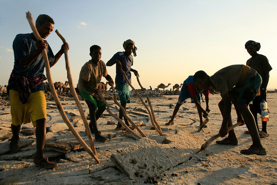 Under a blazing sun, barefoot in salt water, Afars break the crust of salt with an axe. Then three or four men insert their sticks to detach and to switch a large block of salt..
