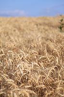 Barley, Ririe Idaho