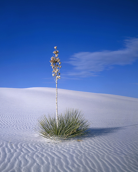Yucca plant in White Sand National Monument, Alamogordo, New Mexico, USA. .  John offers private photo tours in Arizona and and Colorado. Year-round.