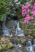 ORPTC_D108 - USA, Oregon, Portland, Crystal Springs Rhododendron Garden, Female mallard duck on rocks next to waterfall and blooming rhododendron.