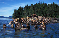 km11485. Steller Sea Lions (Eumetopias jubatus). Alaska, Pacific Ocean..Photo Copyright © Brandon Cole. All rights reserved worldwide.  www.brandoncole.com..This photo is NOT free. It is NOT in the public domain. This photo is a Copyrighted Work, registered with the US Copyright Office. .Rights to reproduction of photograph granted only upon payment in full of agreed upon licensing fee. Any use of this photo prior to such payment is an infringement of copyright and punishable by fines up to  $150,000 USD...Brandon Cole.MARINE PHOTOGRAPHY.http://www.brandoncole.com.email: brandoncole@msn.com.4917 N. Boeing Rd..Spokane Valley, WA  99206  USA.tel: 509-535-3489