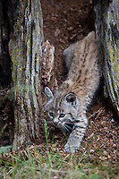 Bobcat Kitten in an old tree stump - CA