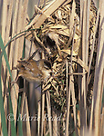 Marsh Wren (Cistothorus palustris) male performing courtship display at its nest, New York, USA<br /> Slide # B134-197