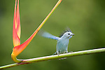 Blue-gray Tanager alights on a Heliconia stem (Thraupis episcopus), Costa Rica.