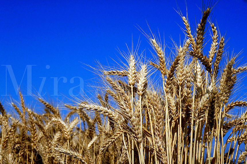 Mature golden brown wheat grains in field.