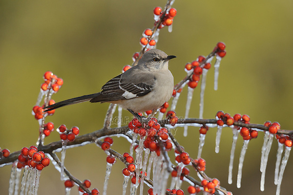 Northern Mockingbird (Mimus polyglottos), adult perched on icy branch of Possum Haw Holly (Ilex decidua) with berries, Hill Country, Texas, USA