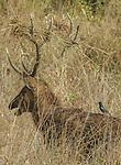 Sambar, Kanha National Park, India