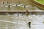 Mallard ducks in Bellevue's Downtown Park canal