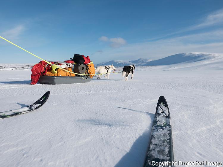 Grønlandshunder trekker pulk på Varangerhalvøya. ---- Greenland dogs pulling sled.