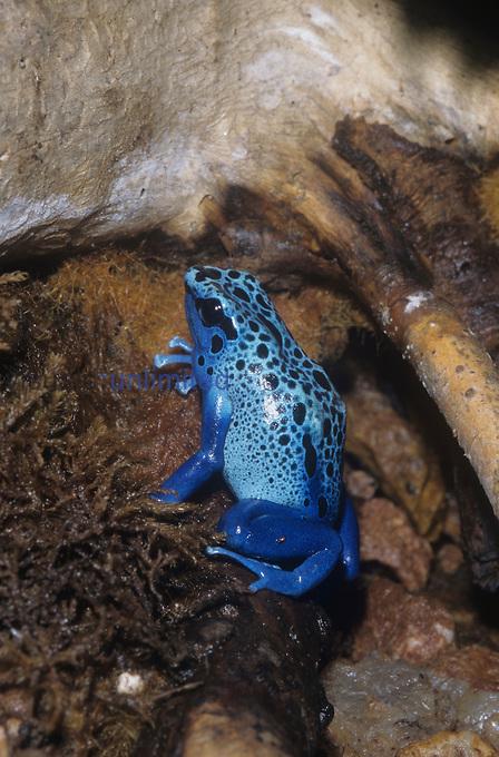 Blue Poison Dart or Poison Arrow Frog (Dendrobates azureus), Surinam.