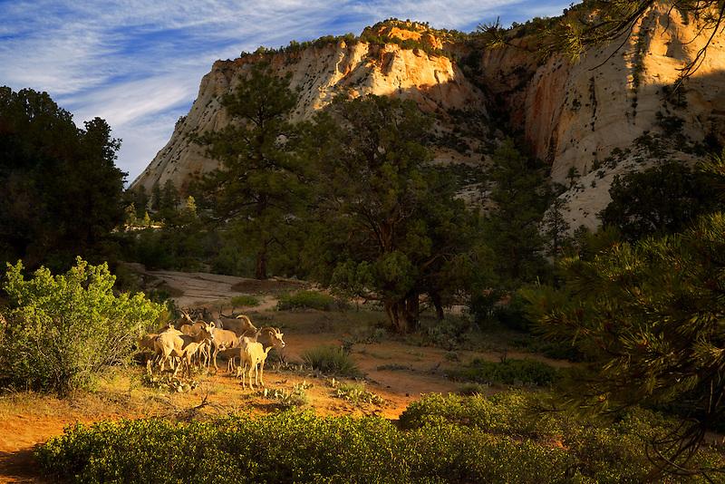 Big Horned Sheep. Zion National Park, Utah