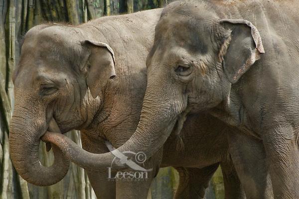 Indian or Asian Elephants (Elephas maximus)
