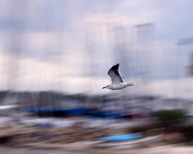 Flying Gull with a motion blur background.